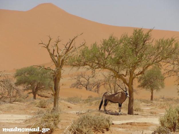 Ένα oryx στην Έρημο Ναμίμπ!