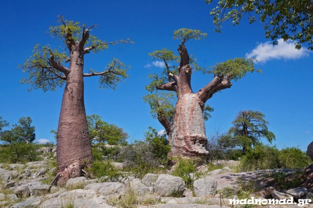 Kubu Island is a rocky island full of baobabs in the middle of the salt pans!