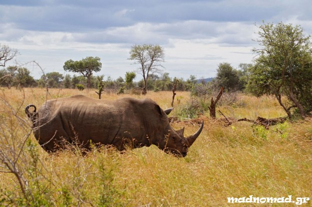 Rhinos are unfortunately seriously threatened from hunters, since Chinese people think the rhino's horn has aphrodisiac properties, so they pay lots of money for that!