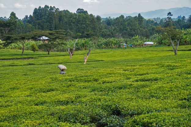 The rolling hills around Tukuyu have a beautiful, green carpet of tea plantations on them.