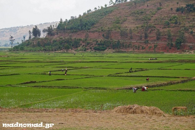 The hard-working Rwandans farm rice in the few plains that exist in the country.