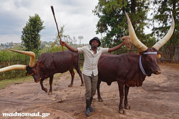 The sacred cows in the former royal compound of Nyanza were used in ceremonies with music and dancing.