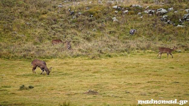"""Παρακολουθώντας τ' άγρια ζώα από τη ράχη ενός αλόγου! Αυτές οι αντιλόπες λέγονται """"mountain nyala""""."""